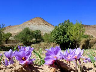 Fleur de Safran - Taliouine