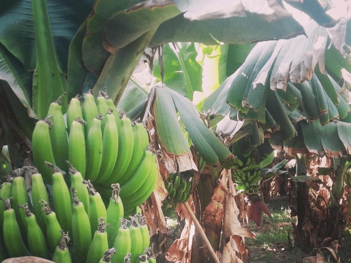 Bananeraie - Tamri