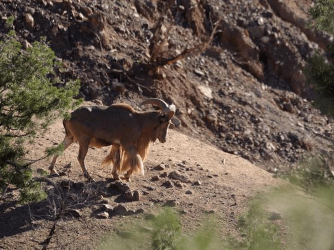 Mouflons à manchettes - Toubkal