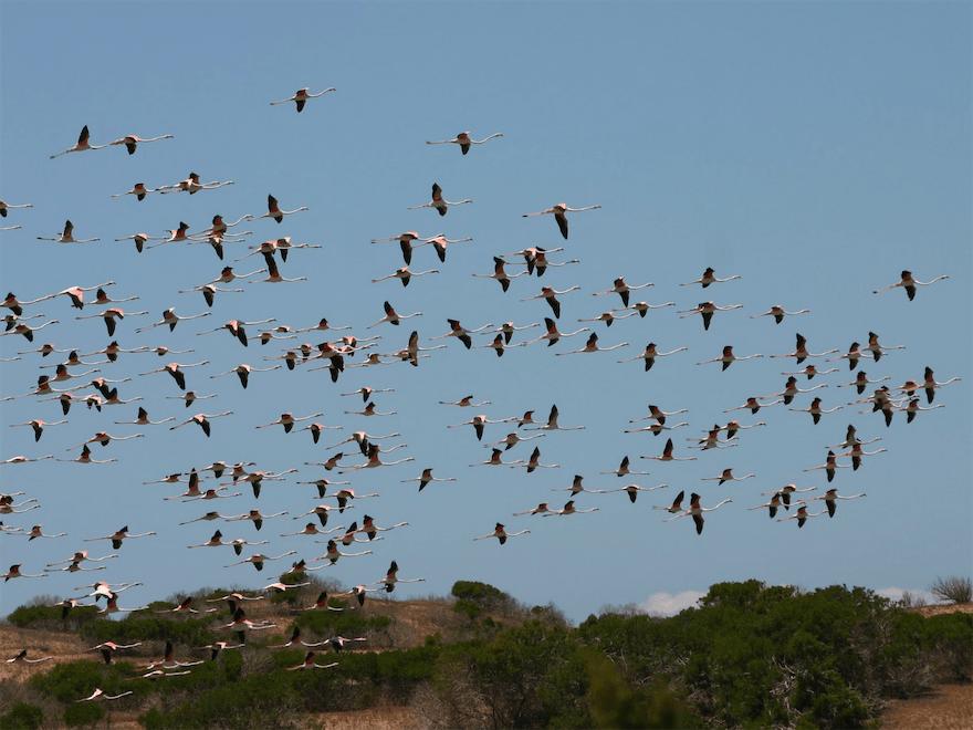 Vol de Flamants - Oued Souss