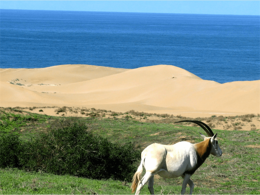 Oryx - Parc National du Souss Massa