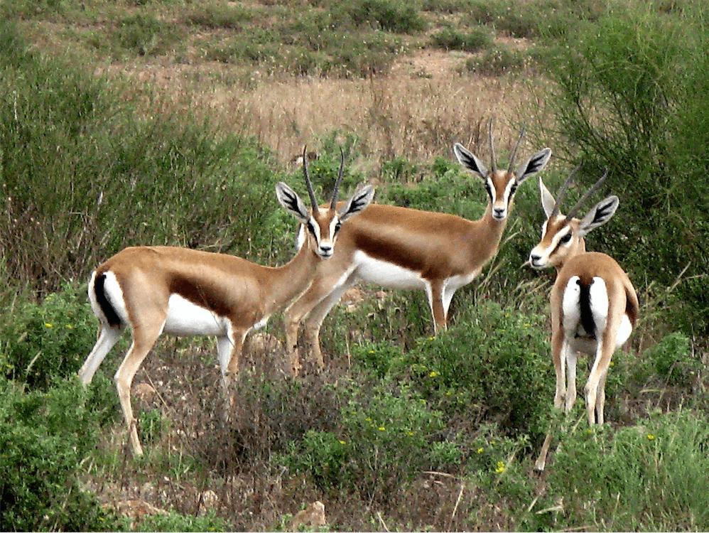 Gazelle - Réserve de Rokein