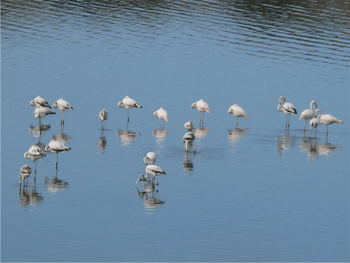 Flamants - Oued Souss