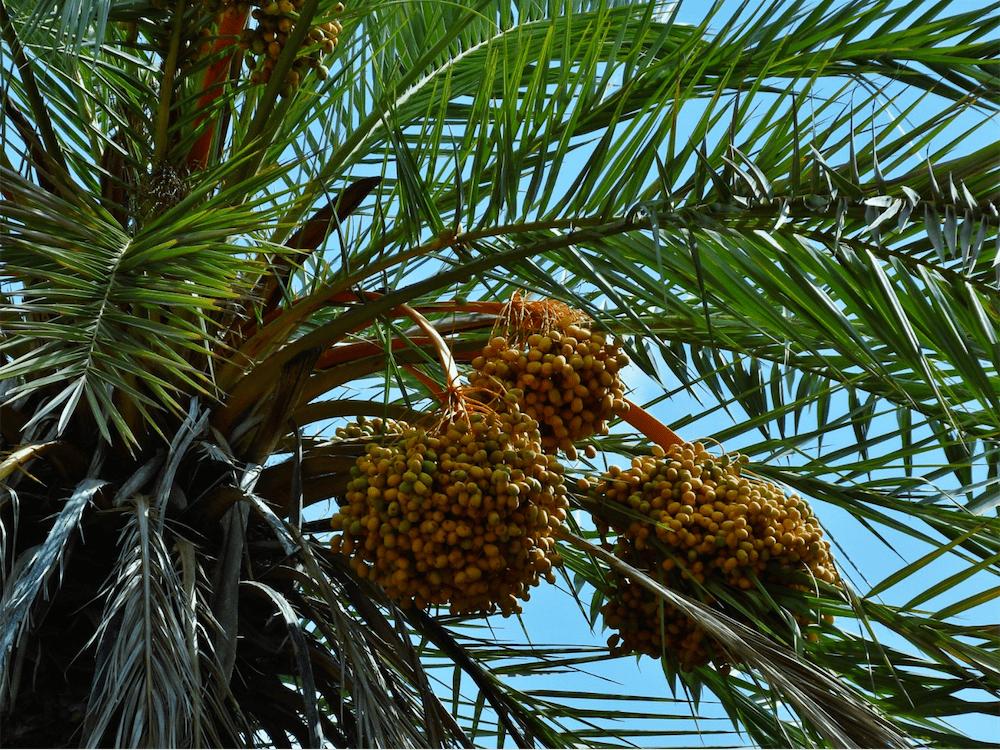 Palmier - Oasis de Tioute